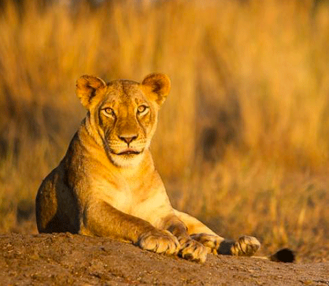 Karongwe private game reserve, Limpopo, South Africa - lioness